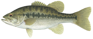 spotted-bass